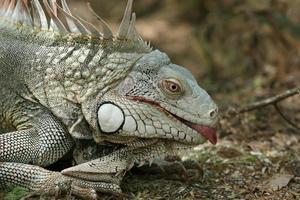 iguana mostrando una lengua foto