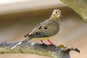 Dove on a tree branch