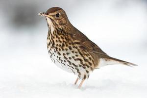 Europese zanglijster diep in de wintersneeuw