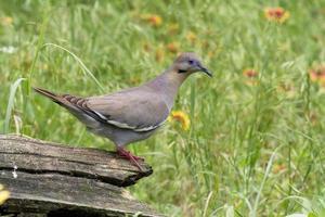 White-winged Dove photo