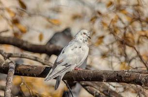 paloma en el árbol de otoño foto