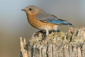 pássaro azul oriental