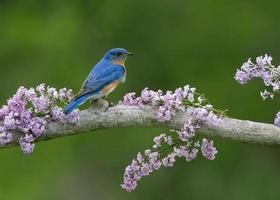Bluebird in Lilacs