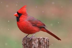 kardinaal in de sneeuw