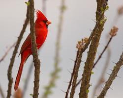 Cardinal On Desert Perch