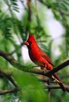 cardinale settentrionale maschile