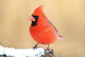 cardenal en la nieve foto