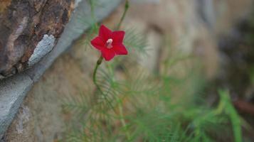 beija-flor videira