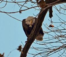 águila calva con pescado foto