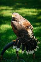 águila haliaeetus albicilla sobre fondo verde hierba foto