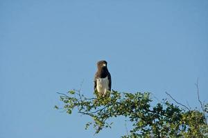aigle-serpent à poitrine noire (circaetus pectoralis)