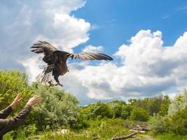 liberando un águila de cola blanca (haliaeetus albicilla) foto