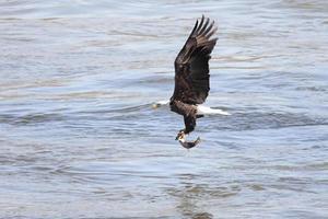 Bald Eagle Fishing photo