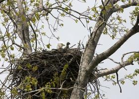 Eagle and Eaglet in Nest photo