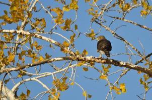 halcón de caña afilada cazando desde el árbol de otoño