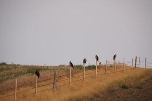 Five hawks lined up on fence posts in scenic Saskatchewan