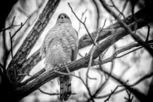 Hawk III photo