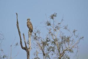Changeable hawk eagle in Bardia, Nepal