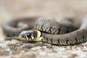 Grass Snake (natrix natrix) photo