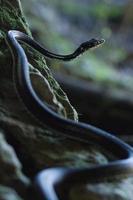 Red Stripe Ribbon Snake Sitting Alert on Rock Vertical photo