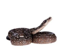 Leopard Argentine Boa on white background. photo
