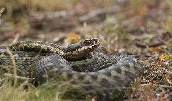 female adder facing right photo