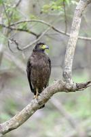 Crested Serpent Eagle photo
