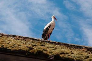 Storch hält Ausschau photo
