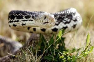 serpiente defensiva en la hierba (hábitat natural) foto