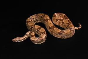 Boa constrictors  isolated on black background photo