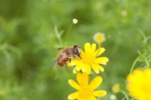 hover-fly recolectando polen