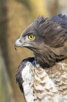 Short-toed snake eagle (Circaetus gallicus) photo