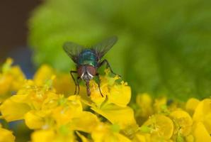 fly on an euphorbia