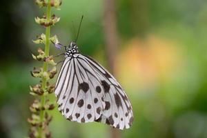 Idea leuconoe butterfly photo