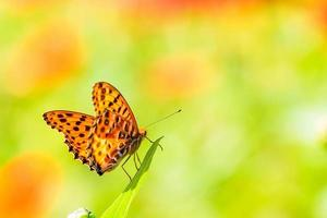 butterfly on flowers photo