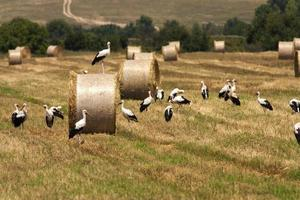 Field with bales and white storks