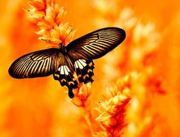 Swallow tailed Butterfly photo