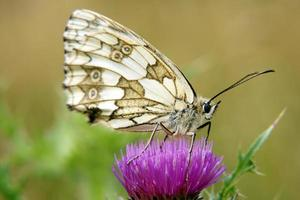 Marbled white photo