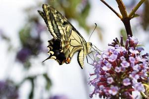 mariposa foto