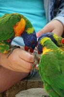Little colorfull parrot eating from the hand