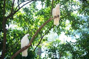 White cockatoos sitting on a tree brunch
