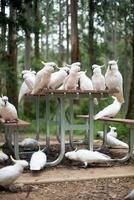 Wild white cockatoos sitting on a picnic table