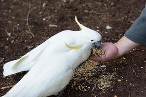 Cockatoo Feeding