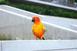 Cute Sun conure in lovely posture photo