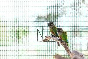 Two colorful painted conure