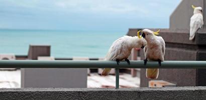 kaketoes op een balkon