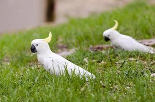 Pair of cockatoos on grass in South Australia