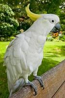 Cacatua on a bench, Sydney