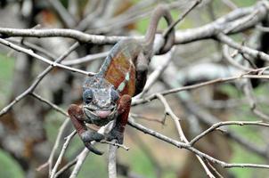 Chameleon photo
