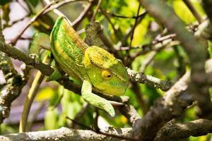 caméléon vert jaune